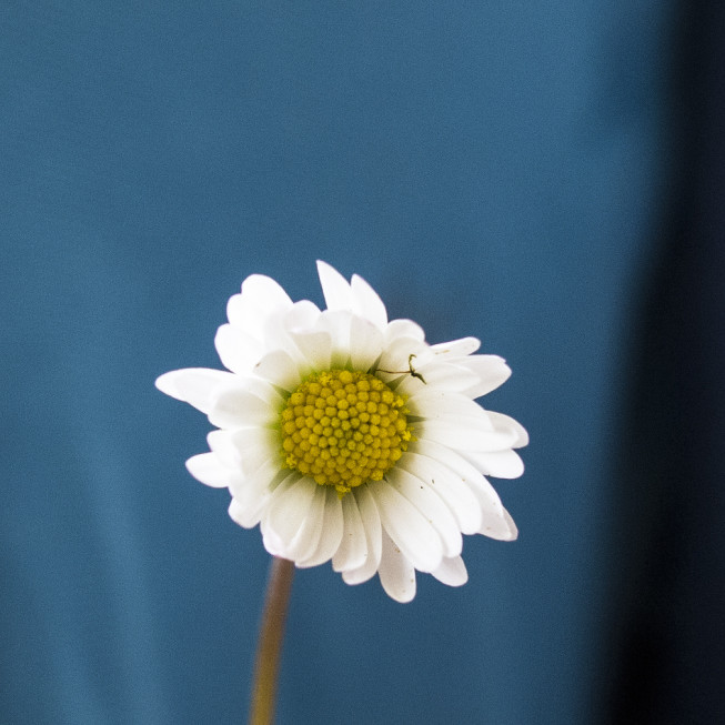 This flower, meanwhile, was photographed with a larger focal length and a large aperture. Thus the depth of focus is small.