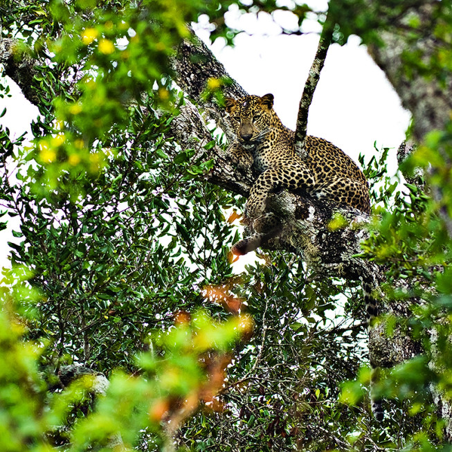A leopard photographed with a focal length of 400 mm, in the rain. (Photo: Majo Eliáš)